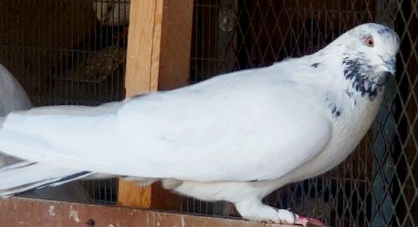Khali Dom Sabz Iranian Pigeon