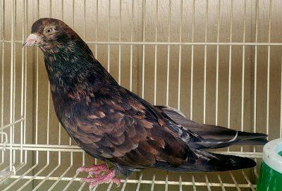 Almond Soroor Iranian Pigeon